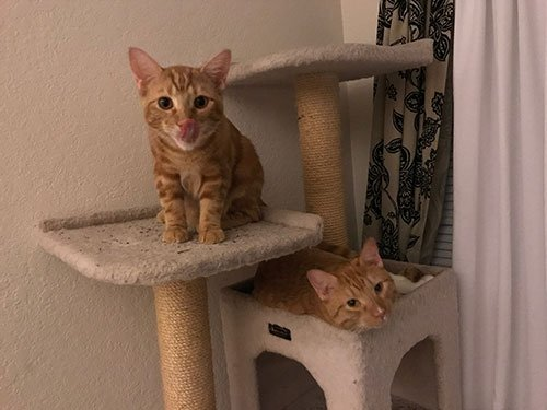 two orange cats on a cat tower