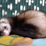 ferret laying down