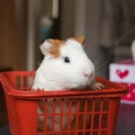 guinea pig in a red basket